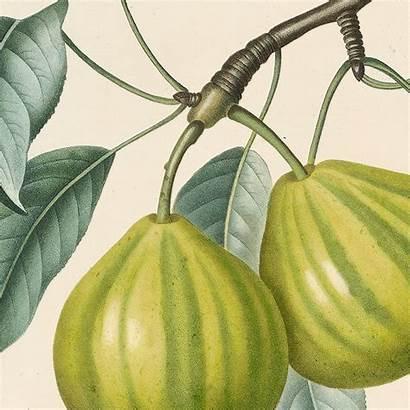 Poiteau Bergamote Panachee Poirier Audubonart