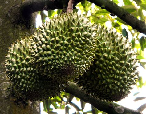 tropical fruits  vietnam jackfruit durian