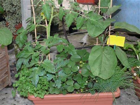 cultiver aubergine en pot potager en pot vente de plants de l 233 gumes pr 232 s de salon de provence bouches du rh 244 ne