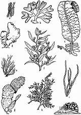 Plants Ocean Sea Drawing Coral Floor Draw Reef Algae Types Line Underwater Sketches Coloring Marine Template Drawings Tattoo Seaweed Multicellular sketch template