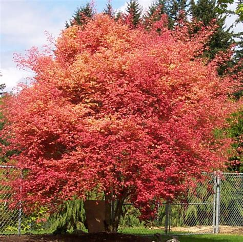 japanese maple fall 25 best images about japanese maple fall color on pinterest pictures of red dragon and emperor
