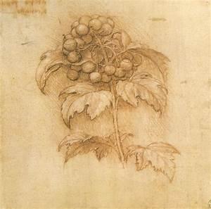 File:Leonardo da vinci, mirtillo palustre, 1506 circa