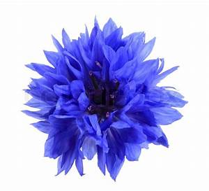 One blue flower isolated on white background. Close-up ...