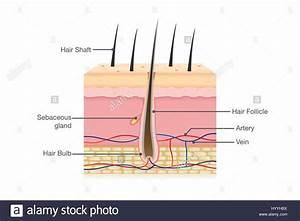 Human Hair Anatomy Stock Vector Art & Illustration, Vector ...