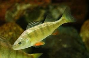 Yellow Perch | Michigan Sea Grant  Perch
