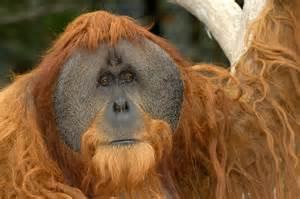 Massive Ape