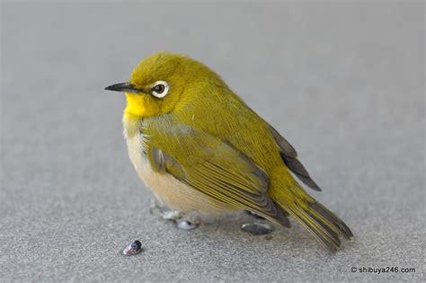 Japan Green Bird