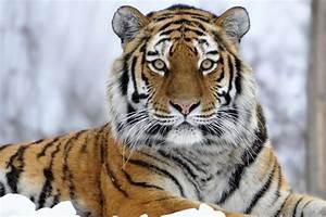 Sharp Eye Tiger
