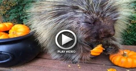 Porcupine Eating Pumpkin And Talking by Porcupine Tastes His First Pumpkin Can T Contain His