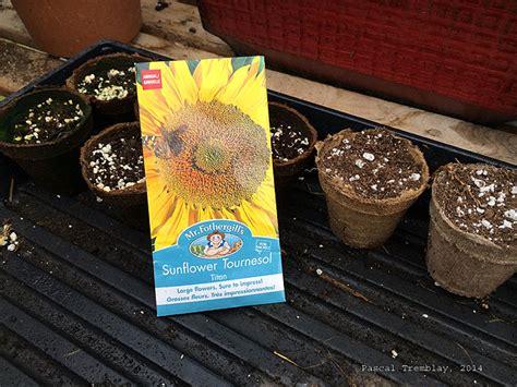 tournesol planter des graines ou semences de tournesol