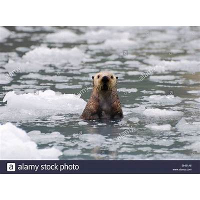 Sea Otter amongst an ice floe in Prince William Sound