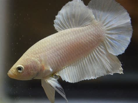 albino betta fish picture    female betta