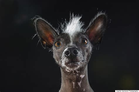 hairless dogs photo series brings attention  ethical