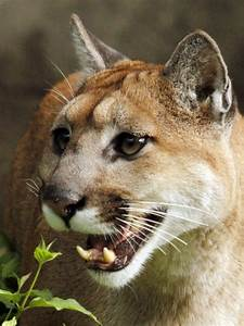 Oregon Officials Kill Cougar  But Unclear If It U2019s One That