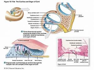 Image Result For Cochlea And Organ Of Corti