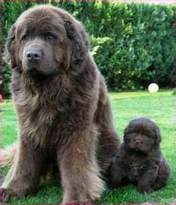 Worlds Biggest Dog Breed Name   Simple Image Gallery