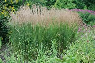 three mid sized ornamental grasses for small gardens what grows there hugh conlon