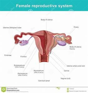 Female Reproductive System Diagram Uterine Lining