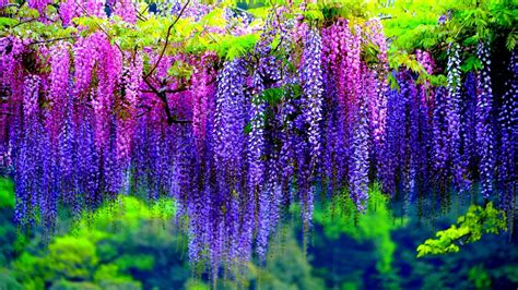 Wisteria Tree With Pink And Purple Flowers Wallpaper Hd