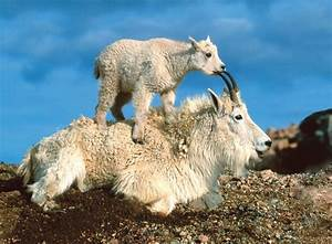 Baby Mountain Goat - wallpaper.