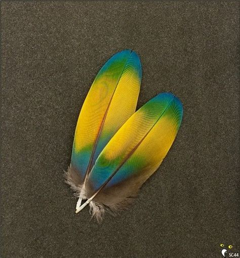 macaw feathers scarlet macaw parrot wing covert feathers