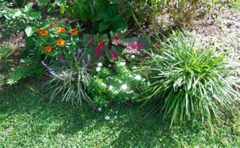 How To Grow Grass In Backyard by Drought Tolerant Liriope Makes An Outstanding Ground Cover