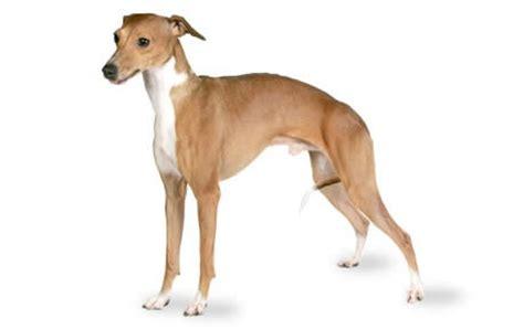 why is my italian greyhound shedding italian greyhound guide breed information canna pet