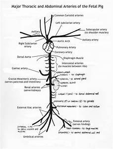 Arteries Of The Body Diagram