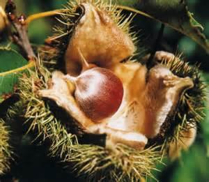Fruit Warehouse: American Chestnut ( Castanea dentata )