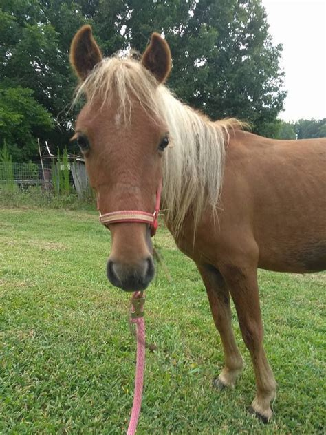 miniature horse near tn petfinder adoption horses loudon rescue pet donkey adoptable searching hemi forever tennessee area animals