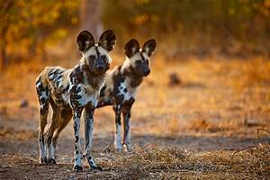 African wild dogs in Northern Tuli Game Reserve, Botswana ...