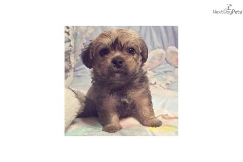 Pugapoo Puppy For Sale Near Clarksville Tennessee Abcda B