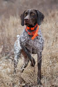 adventures of a gsp hunting dog new year new blog