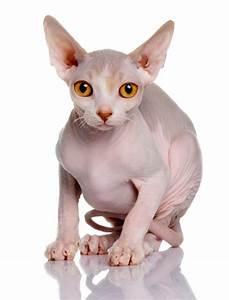 Sphynx Cat - PetSecure