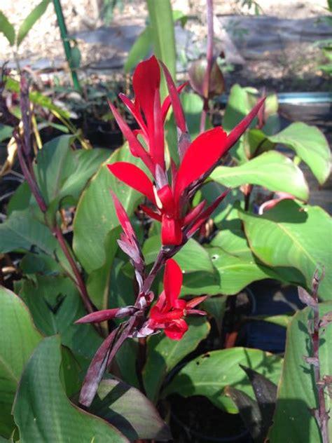 Tropical Plants For Australian Gardens  Canna Warscewiczii