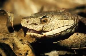 Copperhead Snake Head