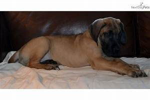 Meet Male a cute Great Dane puppy for sale for $1,100. AKC ...