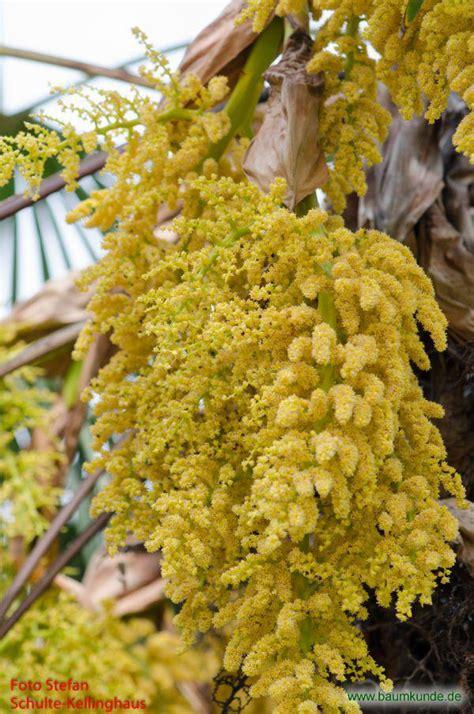 chinesische hanfpalme trachycarpus fortunei blueten