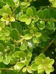 Alternative Zum Buchsbaum : sos buchsbaum kugeln sind krank k nnen sie helfen fragen bilder pflanz und ~ Frokenaadalensverden.com Haus und Dekorationen