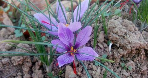 how to grow saffron crocus sativus on a professional basis