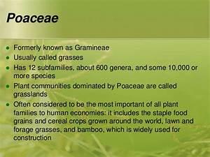 Family Poaceae