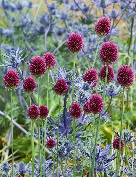 allium colors nice color combo allium sphaerocephalon round headed leek with blue eryngium as seen on