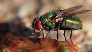 Yummy: Fly eating poop (Makro Movie) - YouTube