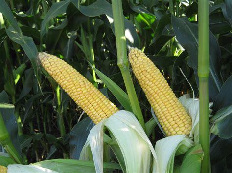 MAS 10A - Bright Maize