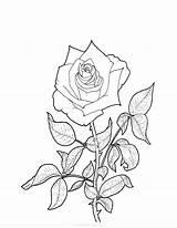 Rose Coloring sketch template