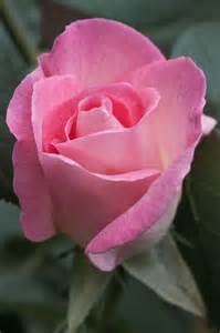 Love Pink Roses Flowers