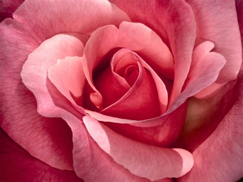 Pink Rose Flower Wallpapers