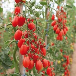 Plant Tomate Cerise : tomate cerise trilly f1 plants potagers hybride id al ~ Melissatoandfro.com Idées de Décoration