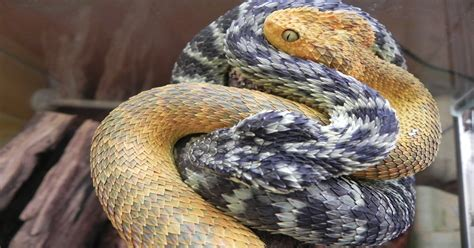 Bad Title, but Awesome Snakes! : pics