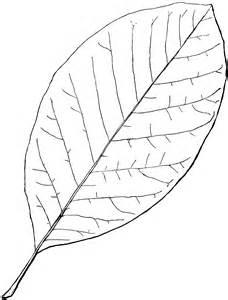 Magnolia Flower Outline